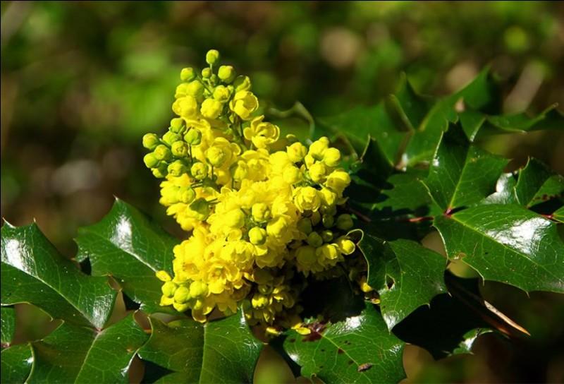 Le feuillage persistant est brillant, les cônes de fleurs jaunes dégagent une douce odeur de miel : j'ai nommé le beau [...].