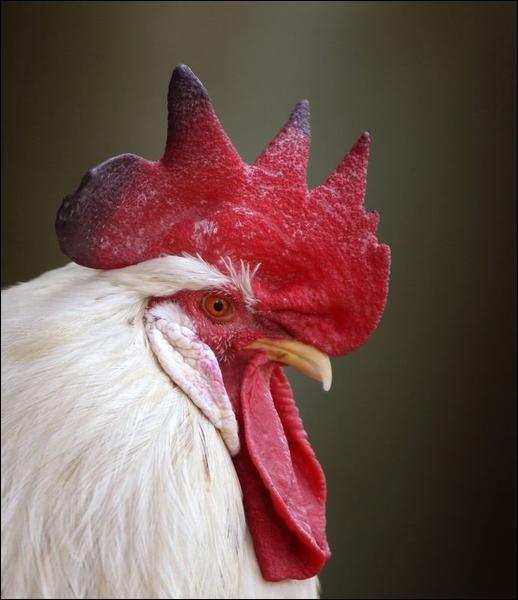 Son symbole est le coq.