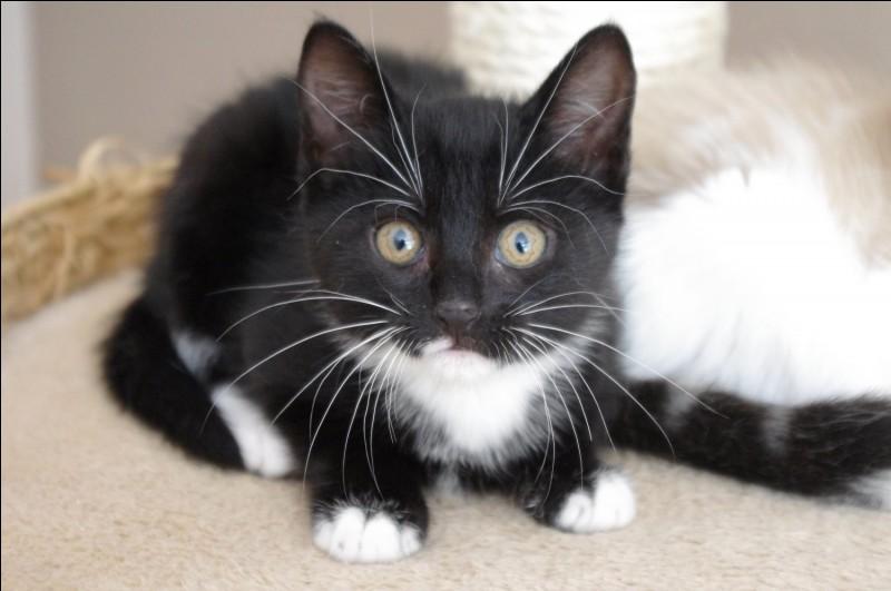 """Quel est le féminin de """"chaton"""" ?"""