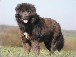 Quel est le nom de cette race de chien ?