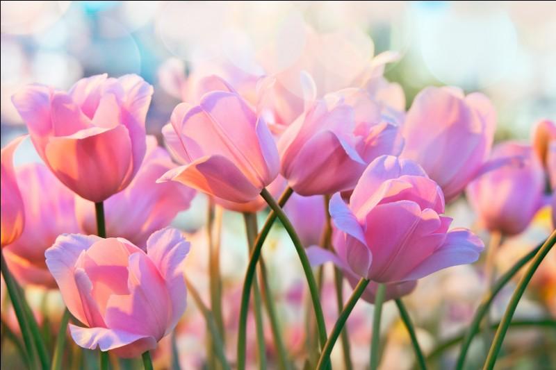 La racine de la tulipe est appelée :