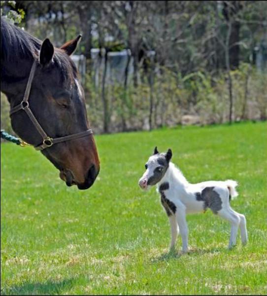 Le plus petit cheval du monde est...