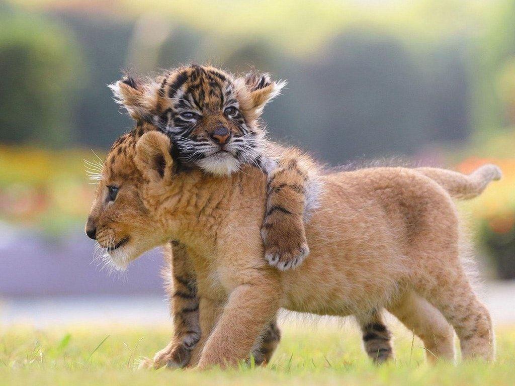 Es-tu tigre ou lion ?