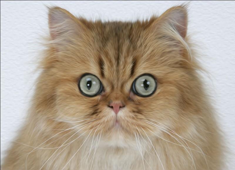 Quelle est cette race de chat ?