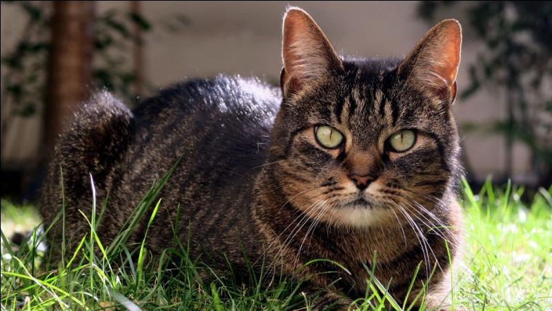 Quand un chat remue la queue de droite à gauche, il est ...