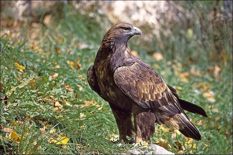 L'aigle a perdu sa maison !