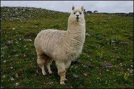 """À force de crier """"je suis malade"""", le lama a perdu sa voix !"""