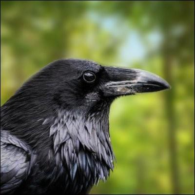 Le corbeau veut retrouver sa voix !