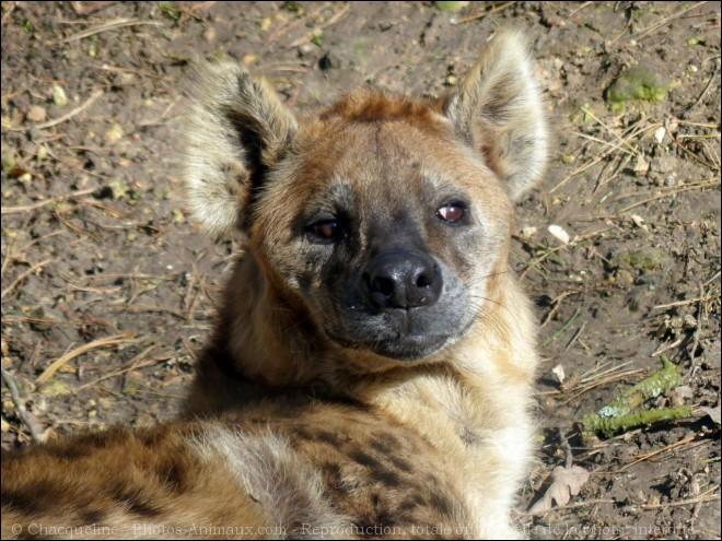 Quand à la hyène, pour commenter vos scores, elle veut retrouver sa voix !