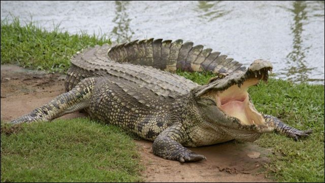 Le crocodile a perdu sa voix !