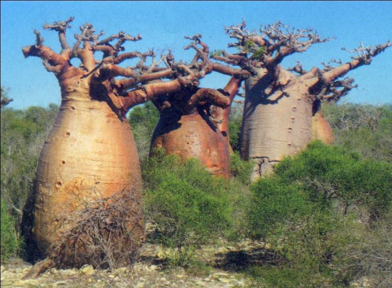 Je ne vous ferai pas l'injure de vous demander le nom de cet arbre, trouver un pays dans lequel on peut le voir à l'état naturel suffira !