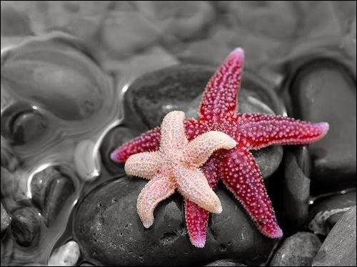 À quelle famille appartient l'étoile de mer ?