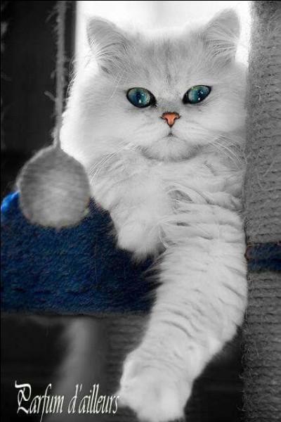 """(Photo décorative uniquement) """"Toujours parmi nos héros publicitaires, pour quelle marque Ramsès, le magnifique chat blanc, fait-il la publicité ?"""