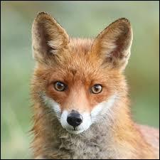 Tu es dans la forêt et il y a un renard. Tu as tous tes équipements pour chasser. Que fais-tu ?