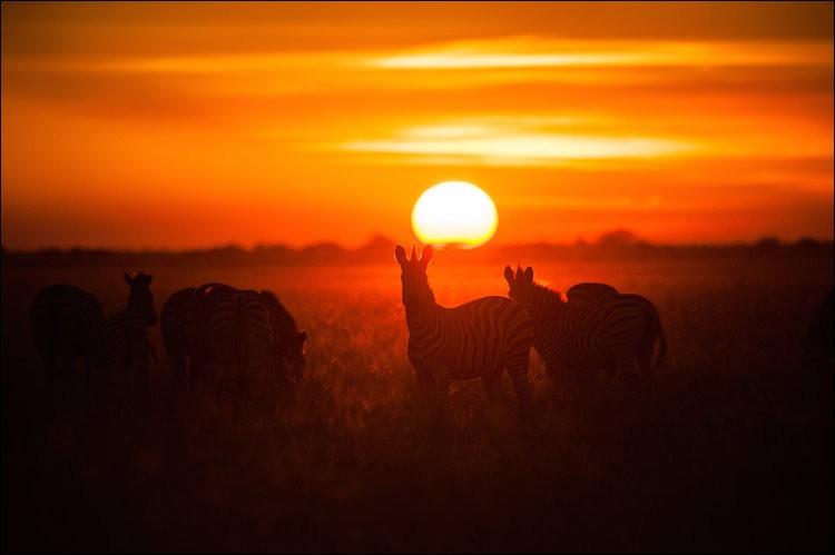 On aperçoit clairement, au soleil levant, les silhouettes d'un petit troupeau d'herbivores, de la famille des équidés, alors qu'ils paissent calmement sur un marais ouvert.Quel est leur nom coutumier ?Courtesy of Nationaol Geographic WILD & NHFU Botswana.