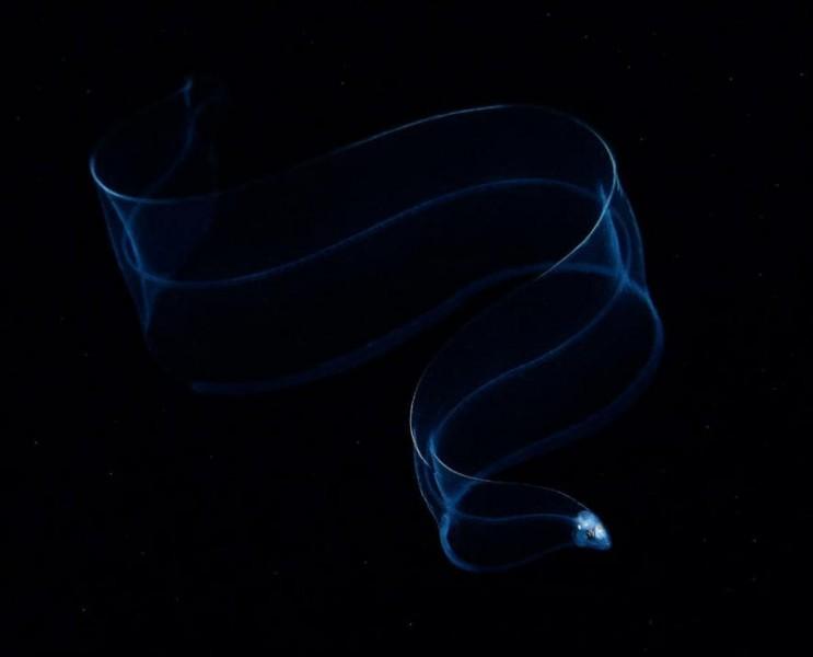 Une jeune anguille se cache des prédateurs dans l'obscurité des abysses. Depuis quelques années, les jeunes anguilles sont décimées par la pêche intensive. D'après le photographe Yatwai So, certaines espèces d'anguilles comme l'anguille du Japon, sont menacées d'extinction.Trouvez un autre nom pour jeunes anguilles : Photographie de Yatwai So, National Geographic Travel Photographer of the Yea
