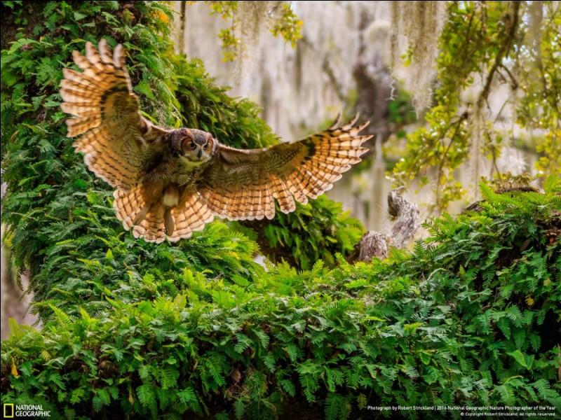 Le cliché de cet oiseau, un chasseur nocturne, membre de la famille des hiboux a été capté à Lecanto en Floride. Ce sont les gros oiseaux de proie les plus répandus au Canada : quel est cet oiseau au ululement légendaire, une suite de doux et profonds hou-hou-hou-hou ?Photo : Robert Strickland, National Geographic Nature Photographer of the Year 2016.