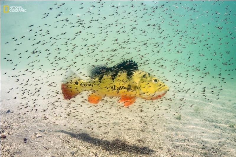 En Floride, des alevins nagent autour de leur mère qui les protègent jusqu'à ce qu'ils puissent se défendre eux-mêmes. Originaire d'Amazonie, ce poisson a été introduit afin de limiter les tilapias, une autre espèce invasive. Ce sont des poissons diurnes qui se nourrissent de tout ce qui bouge : quel est leur nom ?Photographie de Michael O'Neill / 2ième prix 2016 National Geographic Nature.