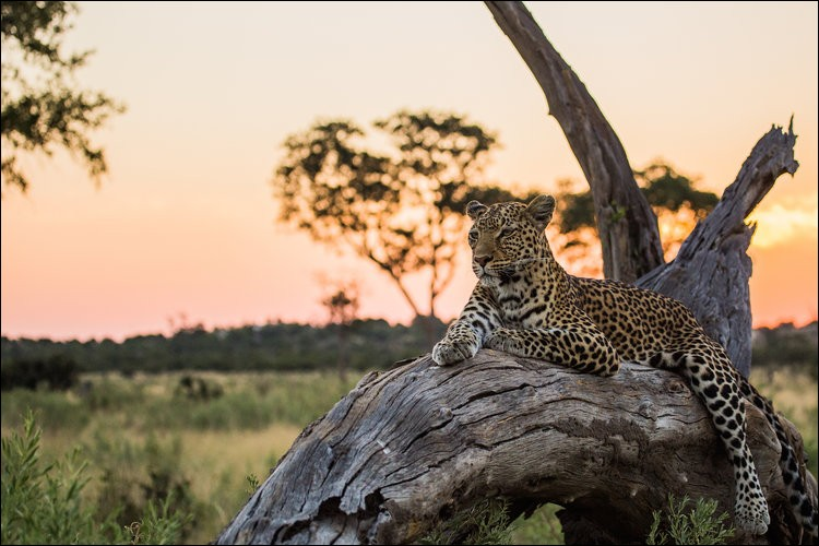 Souvent en observation, flanqué sur une branche, il se relaxe mais scrute tout le temps. Comme plusieurs félins de son espèce, après un journée passée à évaluer les possibilités de chasse, il s'est trouvé un observatoire plus confortable pour poursuivre son activité préférée.Trouvez le nom de ce rapide animal. Courtesy of Nationaol Geographic WILD & NHFU Botswana.