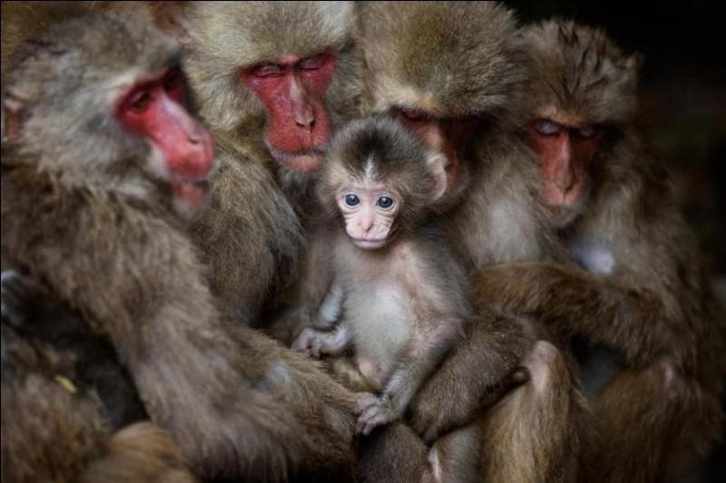 À Shōdoshima, au Japon, des «singes des neiges» se blottissent les uns contre les autres pour se tenir chaud. Lorsqu'il fait ainsi froid, des groupes d'une trentaine forment ce que les Japonais surnomment «saru dango», ce qui traduit ressemble à «raviolis de singes». De quel espèce de singe à la face un peu rouge est-il question ?Photo : Shinichi Masuda, National Geographic Travel