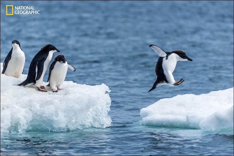 La photographie capte le saut d'un pingouin Adélie d'une glace flottante à une autre dans cette froide péninsule antarctique : il est léger et cela semble un jeu. Comment peut-on aussi les appeler ?Picture : Nick Dale/2016 National Geographic Nature Photographer of the Year.