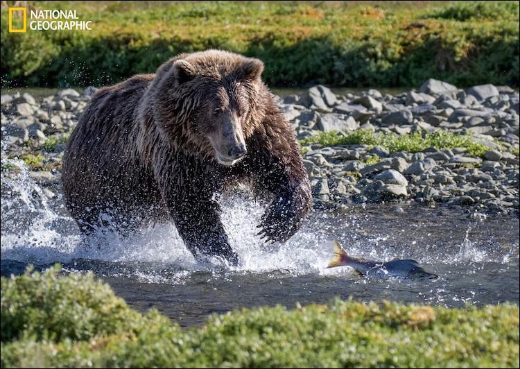 En été, le saumon rouge nage en amont : plusieurs espèces remontent pour frayer où ils sont nés. Ils sont attendus par l'un des plus grands prédateurs, l'ours brun, pour qui ces saumons représentent les protéines indispensables à sa survie pour les mois d'hibernation. Seules les parties grasses sont mangées.Trouvez le nom de cette photo de Steve Grodin/ 2016 National Geographic Nature/ :