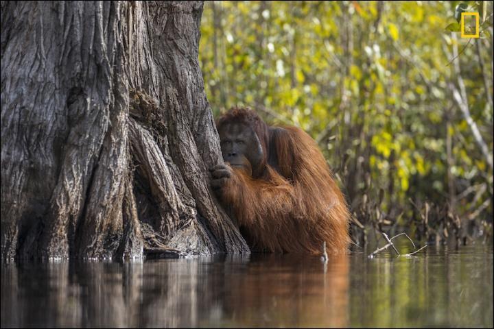 Cette photo a été prise en Indonésie, où ils ont été témoins de ce fait troublant qu'un énorme mâle traverse une rivière malgré son dédain et le fait qu'elle soit infestée de crocodiles. La culture de l'huile de palme à Bornéo, menace les orangs-outans, forçant ces animaux à quitter leurs forêts.Quel est le nom de ce parc ?Photographie Jayaprakash Joghee Bojan, National geographic Your Shot