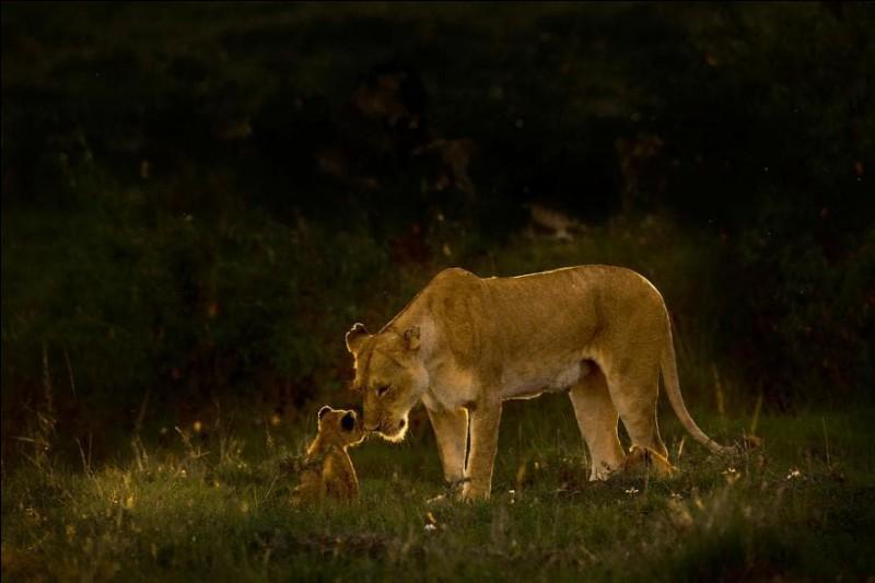 Une lionne et son petit partagent un moment de tendresse. C'est vraiment très émouvant de voir à quel point elle s'inquiète pour ses petits. L'amour qu'elle leur porte est immense », confie le photographe Chandrashekar Kalyanasundaram.Alors ici simplement, comment s'appelle le petit du lion ?Photographie de Chandrashekar Kalyanasundaram, National Geographic Travel Photographer of the Year.