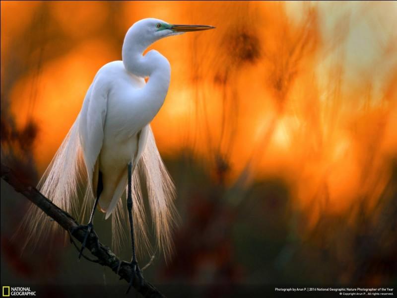 Son habitat, c'est les eaux côtières peu profondes, les marais et les rivages. Cette photo a été prise au large de Merrit Island, en Floride. «Nous sommes arrivés sur place tôt pour profiter de la lumière dorée», a expliqué Donna Bourdon, la photographe. «La lumière et le vent étaient en notre faveur». Quel est le nom de cet oiseau ?Photo de D. Bourdon,National Geographic Travel Photographer.