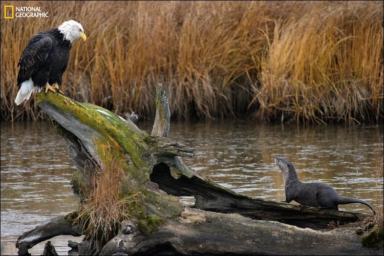 L'oiseau national des États-Unis et une loutre de rivière, s'étudient sur une buche creuse près d'Anchorage en Alaska : la loutre a continué d'observer le rapace pendant plus d'une heure avant de retourner à la pêche. Quel est le nom populaire du pygargue ici illustré ?Curiosity by John Pennell, 2016 National Geographic Nature Photographer of the Year