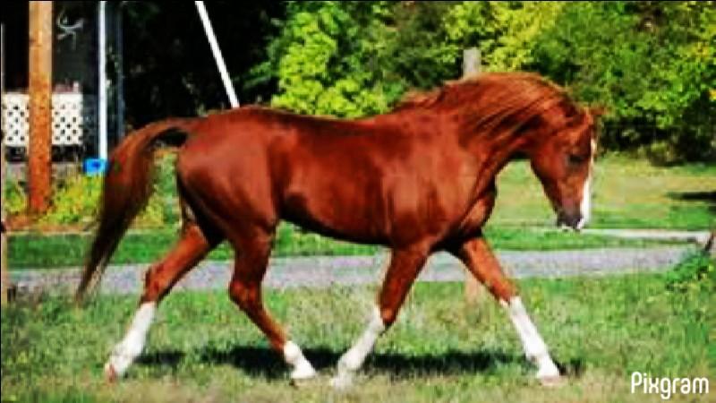Ce cheval est :