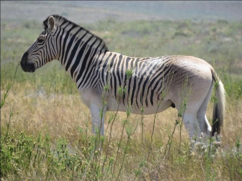 Parmi ces animaux, lequel n'est pas cousin avec le cheval ?