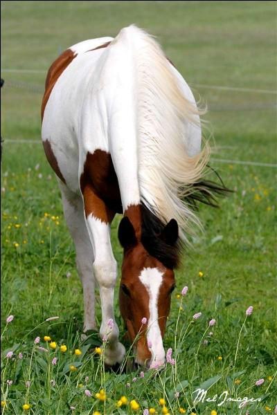 Laquelle de ces plantes est dangereuse pour les chevaux ?