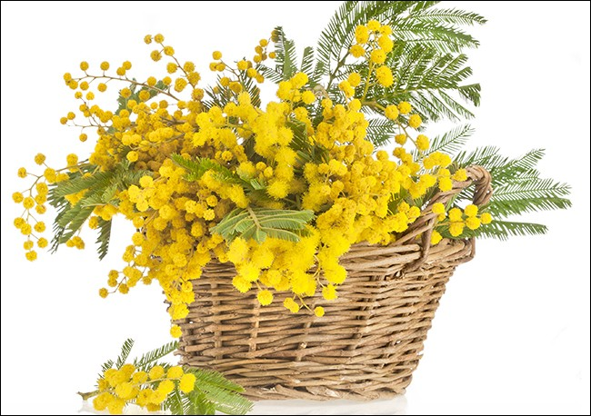 Qui est spécialisé dans la culture du mimosa ?