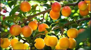 Lequel de ces arbres fruitiers n'existe pas ?