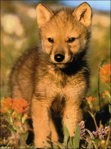 Quel est le petit du loup ?