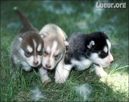 Quel est le petit de la chienne ?