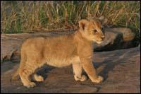 Quel est le petit du lion ?