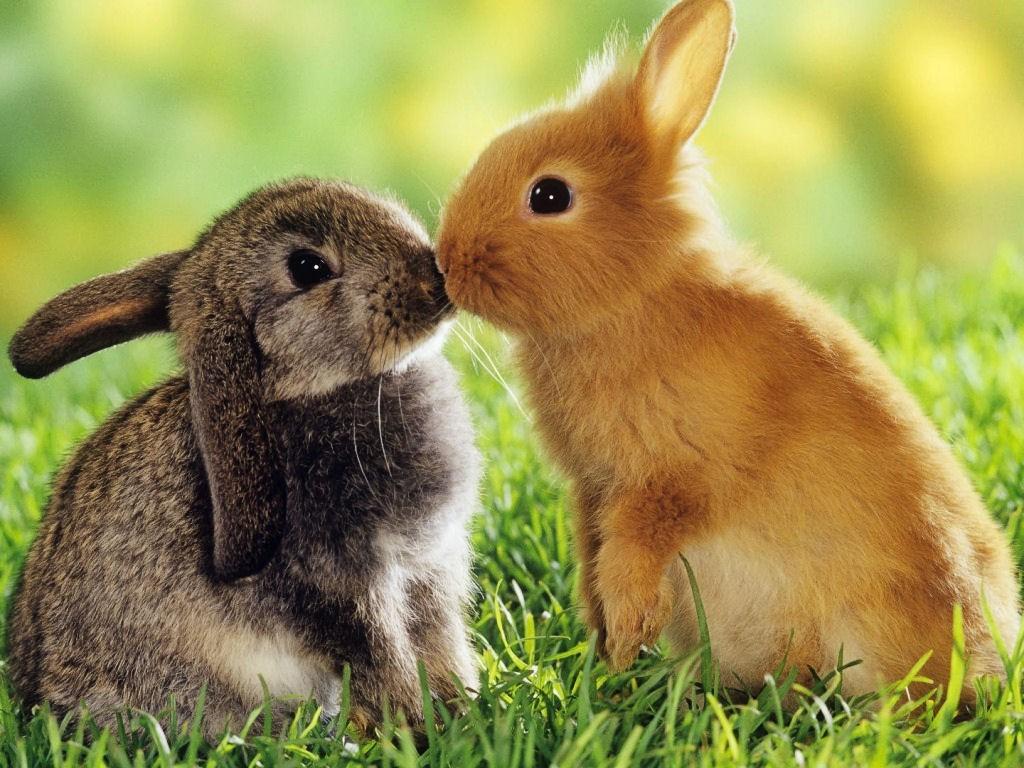 Aimes-tu les lapins nains ?