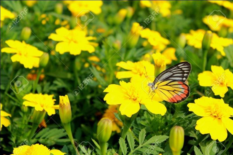 Ce papillon ____ autour des fleurs et vérifie l'état de leurs pétales. Il ___ est donné la _____.