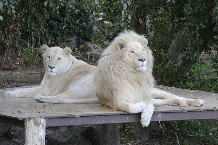 Je vous ai déjà dit que les Sumériens représentaient les lions comme les gardiens des temples. Dans quel pays ne trouve-t-on pas de statues de lions aux entrées de temples ?