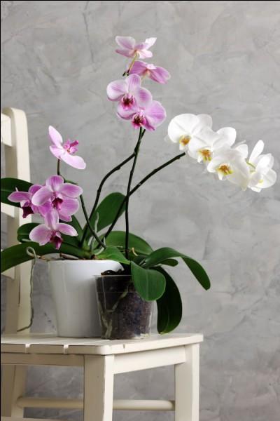 Quel nom porte cette orchidée ?