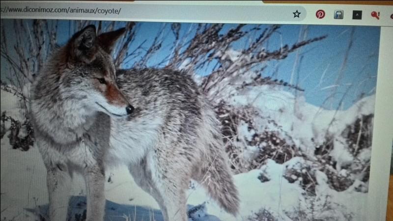 Le coyote est un :