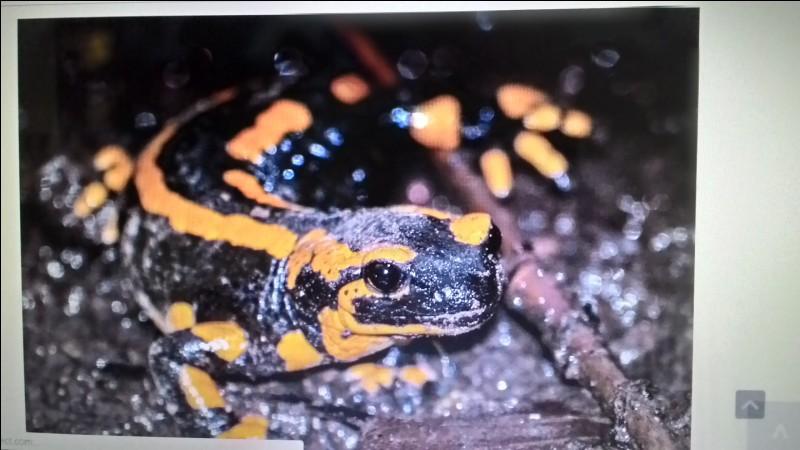 La salamandre rayée est une :