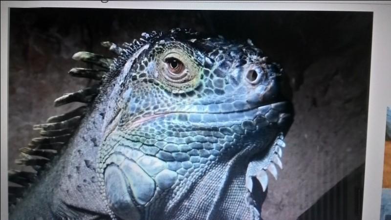 L'Iguane vert est un :