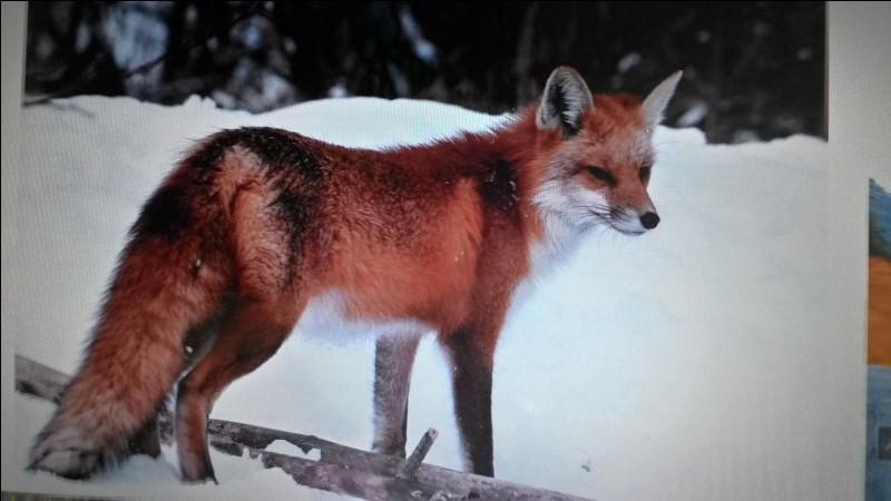 Le renard roux est un :