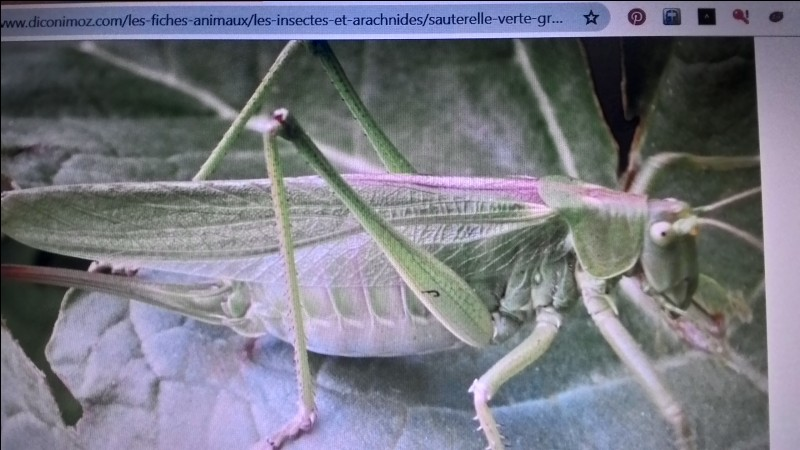 La grande sauterelle verte est une :