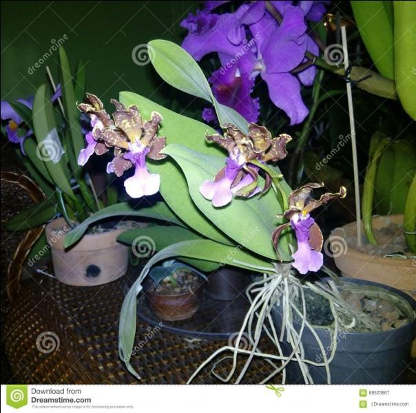 """Le mot orchidée vient du mot grec """"orchis"""" qui signifie """"testicule""""."""
