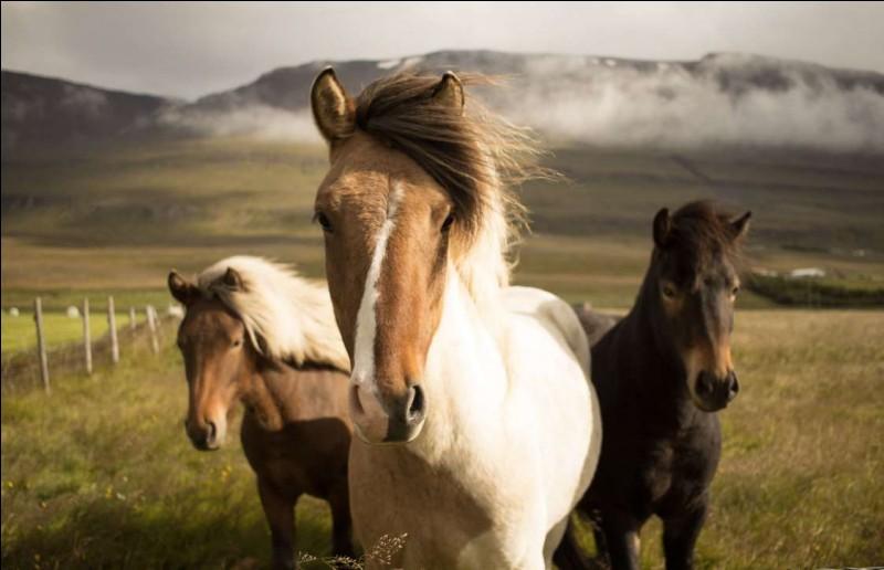 Ils sont arrivés au 8e siècle et l'on pense que leur petite taille et leur robustesse étaient pour qu'ils supportent sans problème les rudes conditions en mer à cette époque. En 982, le parlement a interdit l'importation de toute autre race de cheval : c'est donc une des races les plus pures.Quelle est cette race résistante et fière qui peut vivre plus de 40 ans, le record étant de 59 ans ?