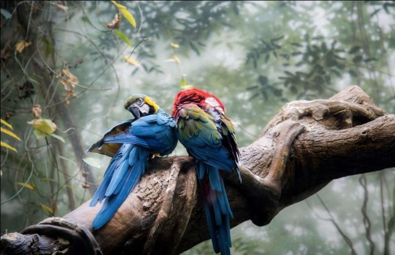 C'est l'heure de la toilette chez ces beaux oiseaux dotés d'une grande intelligence : ils sont quand même les seuls à pouvoir imiter la voix humaine. On remarque leur forte capacité cognitive et leur étonnante capacité d'apprentissage. `Nommez l'espèce qui peut reproduire des noms et comprendre les nombres puis distinguer les couleurs.